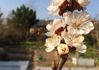 Biene mit Pollenhöschen auf Marillenblüte