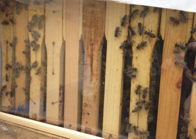 Blick ins Bienenvolk