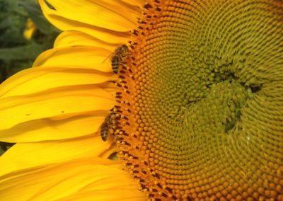 Bienen auf Sonnenblume