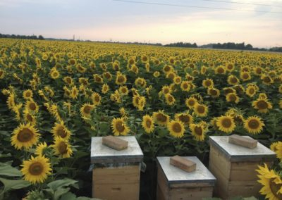 Bienen im Sonnenblumenfeld