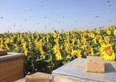 Flugbetrieb am Sonnenblumenfeld