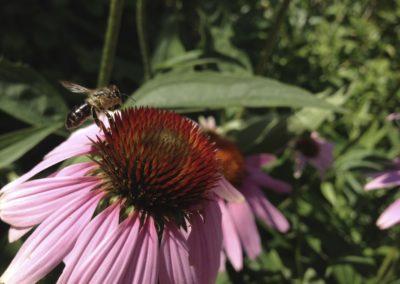 Biene auf Echinacea